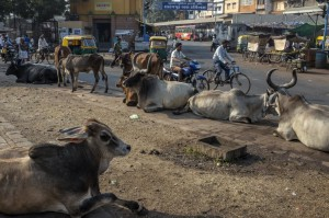 Cows on the streets of Ahmedabad, India. India has vowed to build better roads and clear red tape to pull it into the leagues of Asia's industrial powerhouses.